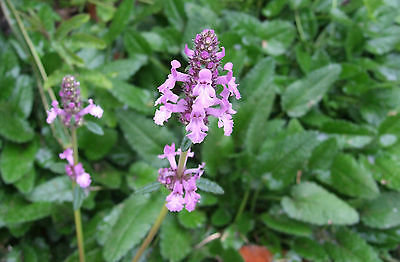 BETONY - Stachys officinalis - Groundcover Herb Plant Tea Flowers