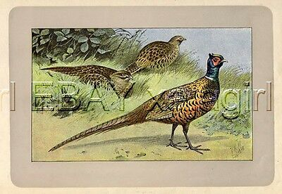 BIRD Pheasant, Rare Antique 100-Year-Old French Bird Print-- Nice