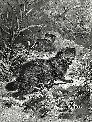 Black Footed Ferrets Hunting Birds, Large 1880s Antique Print