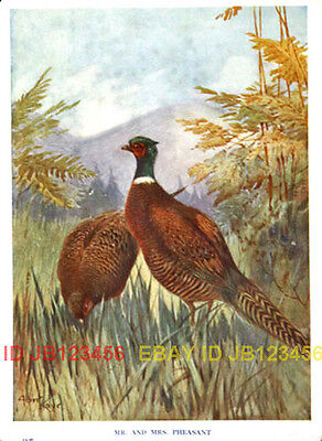 BIRD Pheasant in Fields, 85-year-old CHILDREN's Print
