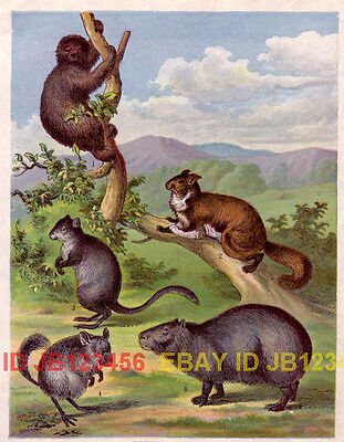CHINCHILLA, Sloth, FLying Squirrel, Antique 1880s Print