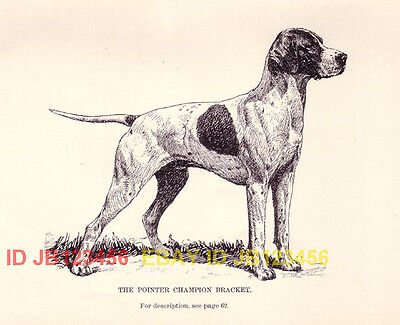 DOG English Pointer Champion, 1890s Antique Rotogravure Print