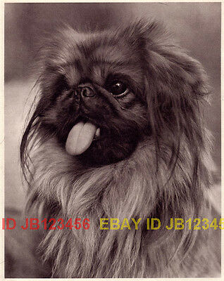DOG Pekingese Portrait, Adorable Quality 1941 Print