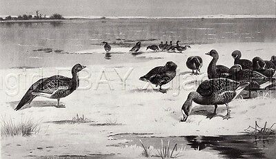Goose 1890s Antique Collotype, by Archibald Thornburn