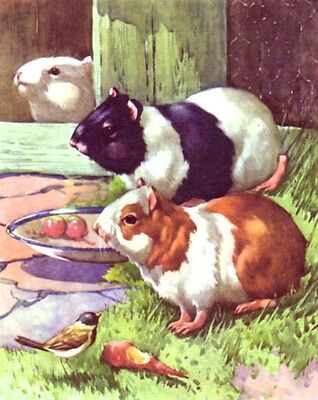 Guinea Pig Family, Beautiful 70-yr-old CHILDREN's Print