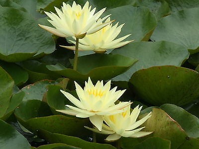 Water Lily Plant 'sunrise' - Big Beautiful Yellow Flowers