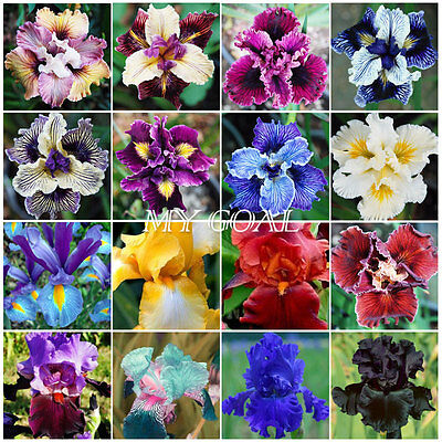 30Pcs Exotic Iris Seeds  Black Red Yellow Blue Purple White Garden Flower Plant