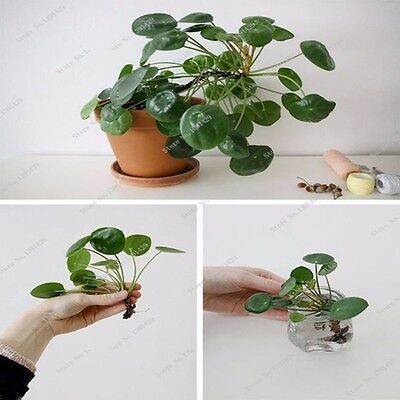 Beautiful Plant Chinese Money Tree Seeds Hanging Water Grass Seeds -  200 pcs