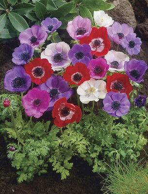 Anemone Poppy Mix BULK LOT BULBS Mixed Flower Bulb 120 pieces seeds Flowers
