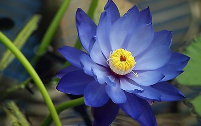 Liveseeds - Bonsai Lotus/ Bowl Pond Lotus/Water lily flower/ 5 Fresh Blue Lotus