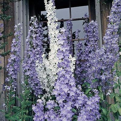 Campanula pyramidalis - Blue Chimney Bellflower in 9cm Pot