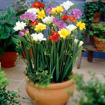 100Pcs Perennial Freesia Perfume Flower Seeds Indoor Garden Rare Bonsai Bulbs