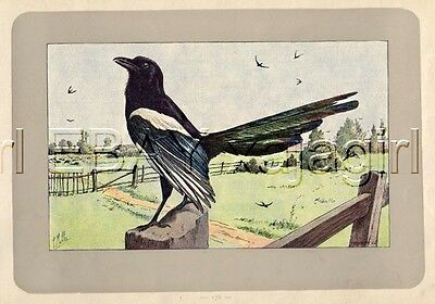 BIRD Magpie (Pica Pica), Rare Antique 100-Year-Old French Bird Print-- Nice