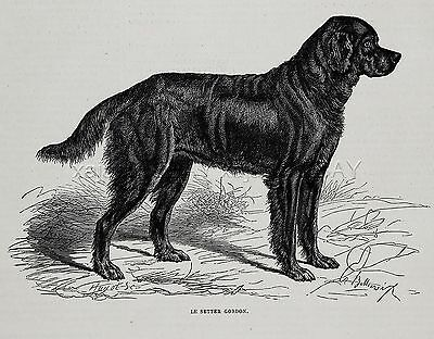 Dog Gordon Setter Dog Breed ID'd, 1870s Antique Engraving Print
