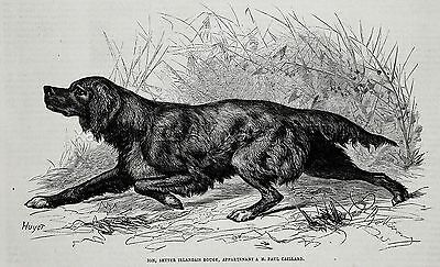 Dog Irish Setter (Named, Owned ID), 1870s Antique Engraving Print