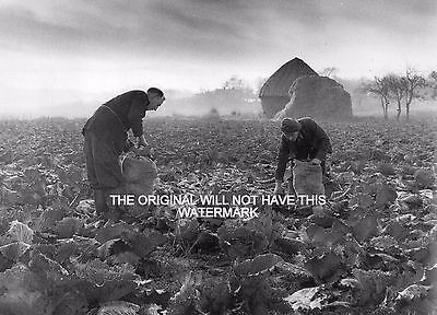 Cabbage Harvesting West Hill Kent 1956 Vintage Mounted Print Farming History