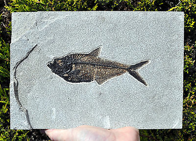 Excellent Fossil Fish - Diplomystus - Green River - 6.25 inches long. Ref:DPLW
