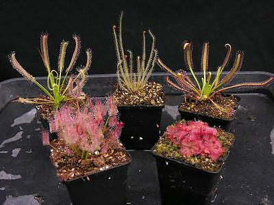 Carnivorous Drosera Sundew Conservatory Collection C