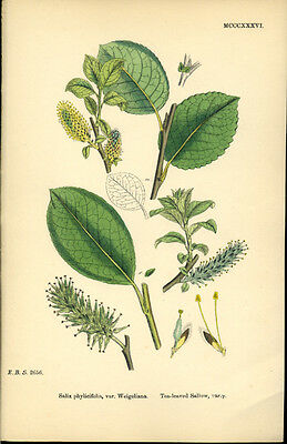 Exquisite SOWERBY Antique Print Botanical TEA-LEAVED SALLOW L6  1859 - H/col
