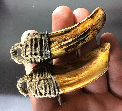 Real 2 Wild Pig Teeth Thai Amulet Buddha Boar Chew Tooth Talisman Power