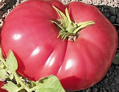 30 German Johnson Tomato Seed ~ Certified Organic Appalachian Heirloom Pink