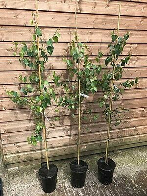 3 Silver Birch Native Trees (Potted) approx 4ft Hedges Betula Pendula