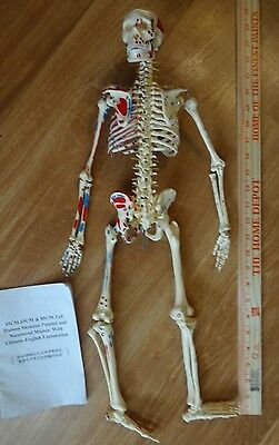 65cm Human Anatomical Anatomy Skeleton Medical Model Fexible jointed