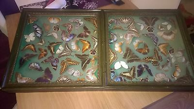 Beutiful vintage Antiqe butterly display case