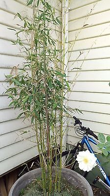 Bamboo plant 1.8 m high