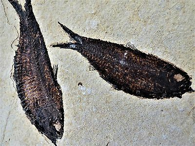 Pair of  Knightia Fossil  fish 48 m.y.o. Green River Formation 21.5 x 17.5 cm