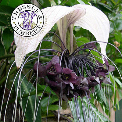 Rare Cat's Head Plant, Tacca Integrifolia,  Perennial - 5 seeds - UK SELLER