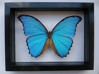 Real Framed Butterfly Spectacular Blue Peruvian Morpho Didius Mounted Double Gla