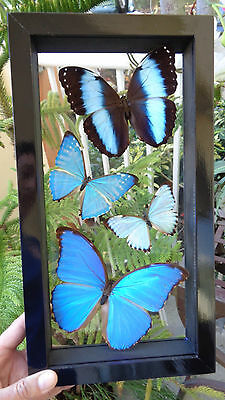 "4 Real Butterflies Framed Blue Morpho Art Work Collection 7.5""x14""inches"