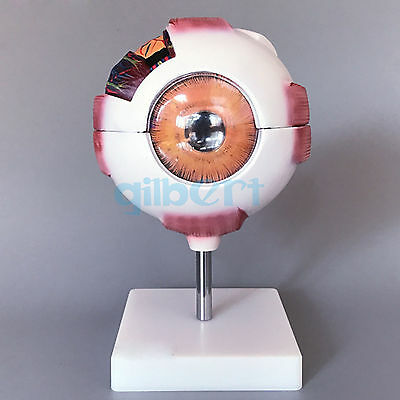 White Human Eye Ball Anatomical Model Training 6X Life Size Medical Kit