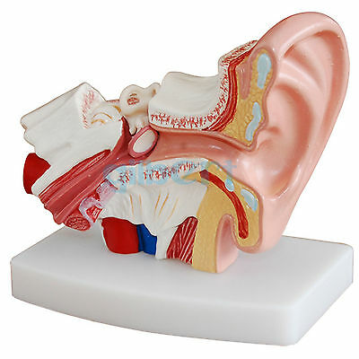 1.5X Life Size Human Ear Anatomy Medical Model Non-removable On Base