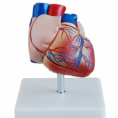 Life Size Human Heart Anatomy Model 2 Part Cardiac Medical Learning Kit