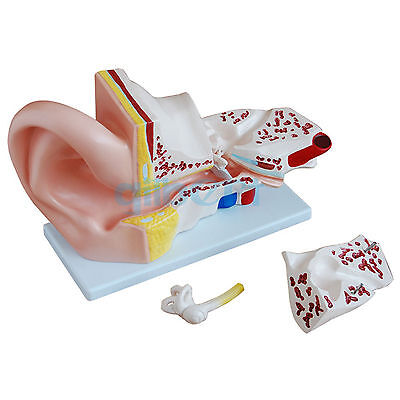 5X Life Size Human Ear Anatomy Medical Model in 3 Part Removable Sections