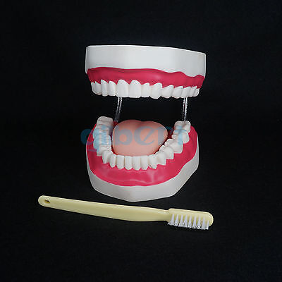 4 Times Magnification Dental Study Teach Clear Teeth Model Tooth Education