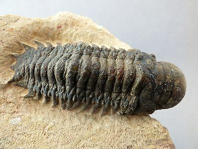 Attractive and striking trilobite from Morocco. Devonian Period