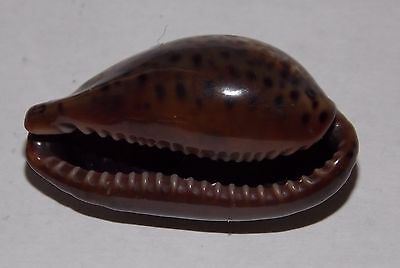 CYPRAEA ANNETTAE - 42.76mm - SEA OF CORTEZ - CHOICE SUPER DARK -  PRICE REDUCED!