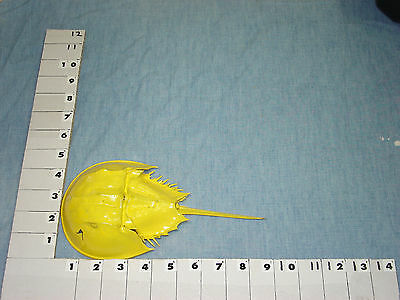 Horseshoe Crab Molts Fossils From The Sea Yellow Art Deco Colored-046