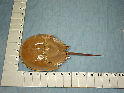 Atlantic Horseshoe Crab Shell with Tail and Legs, Naturally Collected -050
