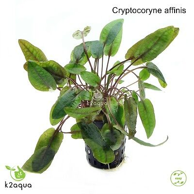 Cryptocoryne affinis Live Aquarium Plants Tropical Aquascaping Tank Co2 EU