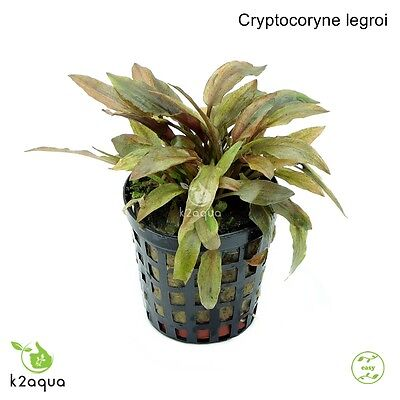 Cryptocoryne legroi Live Aquarium Plants Tropical Aquascaping Tank Co2 EU