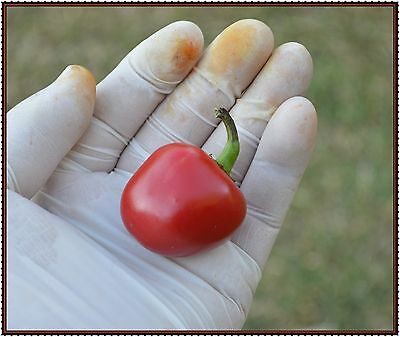 Red Ball Chilli  10+ seeds
