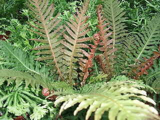 Blechnum brasiliense - Red Brazilian Tree Fern Pot Plant Rare Exotic