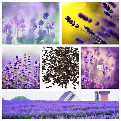 400 Beautiful Lavender English Seeds Organic, Untreated Herb Seeds Garden Deocr