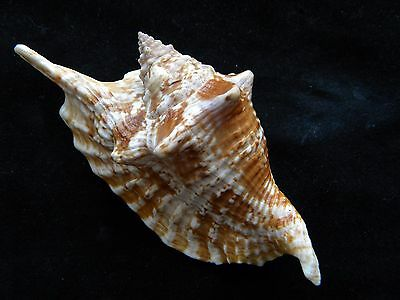 Sea Shells Strombus gallus / Rooster-Tail Conch 121mm ID#3545B