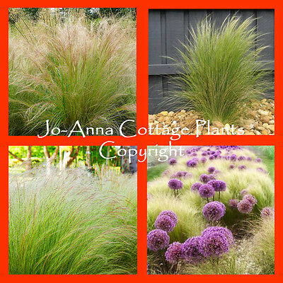 1 Litre Pot Stipa Tenuissima Pony Tails Mexican Feather Grass Ornamental Grass
