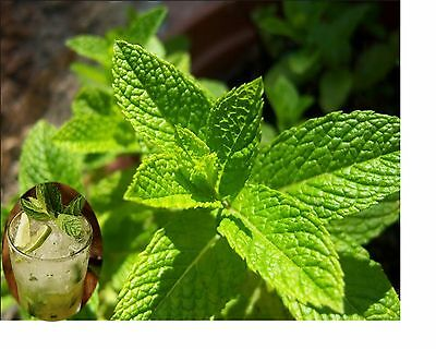 Mint Mojito seeds Spanish Hierbabuena Herb SOW NOW!